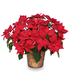 RADIANT POINSETTIA  Blooming Plant in Bryant, AR | FLOWERS & HOME OF BRYANT