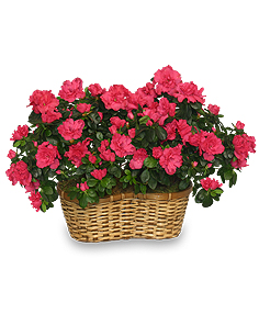 HOT PINK AZALEA BASKET Flowering Plants in Mcfarland, WI | THE PETAL PATCH
