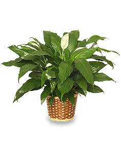 PEACE LILY PLANT    Spathiphyllum clevelandii  in Zionsville, IN | NANA'S HEARTFELT ARRANGEMENTS