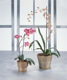 Orchid Plants Blooming Plant in Tampa, FL | BAY BOUQUET FLORAL STUDIO