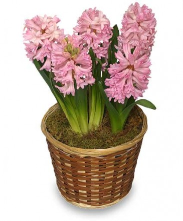 Potted hyacinth 6 inch blooming plant in houston tx mary 39 s little shop of flowers - Planting hyacinths pots ...