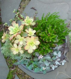 Succulent Garden Mixed Succulent Plants in Mcfarland, WI | THE PETAL PATCH